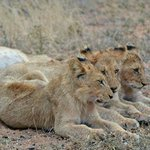 Three lion cubs - amazing!