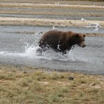 Bear searching for salmon