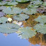Lily Pads on Pond at Inn On the Moraine