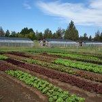 Good Earth Farms last crop of lettuces.