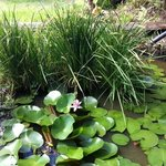 Lily Pond and Paddy
