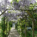Wisteria Arch in May