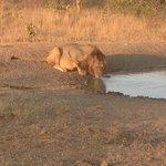 Lion drinking from Waterhole