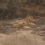Lion female/Cubs