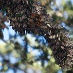 Monarch Grove Sanctuary