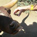 Feeding long horn steer