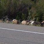 21 Sheep