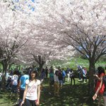 Cherry Blossoms in High Park, Toronto. Copyright Jordan Lui 2013