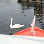 Wroxham Swans!