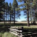 Ponderosa pines in front of grasslands