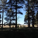 Ponderosa pines in front of grasslands