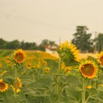 A field of sunflowers on the edge of the Gites de Brives