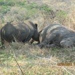 En tørstig næsehorn unge