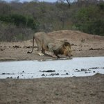lion drinking at the waterhole in front of the camp