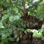 Det gamla gamla mullbärsträdet