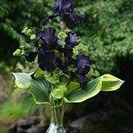 Bearded Iris make beautiful cut flowers