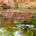 "Canadian Geese in the lakes ""doggy pond"""