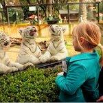 Los bebes de tigre blanco