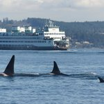 Orcas and the Ferry
