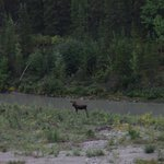 Moose - behind Princess Denali Lodge