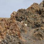 Dahl sheep - Denali Park