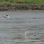 Amazonian dolphins