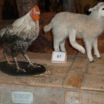 5 legged lamb and 3 footed chicken