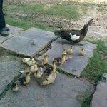 Lovely Family duck in HCM Villages