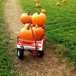 Selected pumpkins on available wagons for hauling