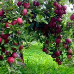 Red Delicious Apples ripe for the picking