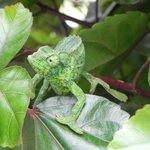 The  green Camilion