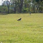 Espécies de pássaros pelos gramados