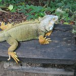 Iguana on the nature trail