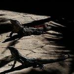 lil dragon iguana's chillin on the patio...lol..cute!! ♥