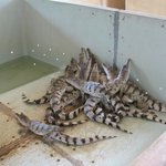 Baby Crocs in Breeding Area