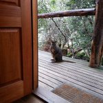 Pademelon at the door
