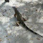 Iguana de Palo