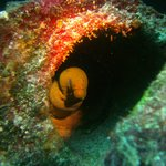 C-55 Wreck is where this Moray Eel lives.