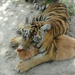 Tiger cub cleaning housecat's head (at Single Vision, Melrose, Fla)