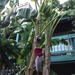 bananenbomen op het terrein!