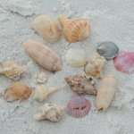 Good shells are found inside the water...not outside on the beach. Found all of these in knee de