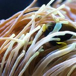 """Nemo"" - wide banded anemonefish"
