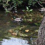 ducks in creek