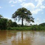 Ceiba en el Río San Carlos