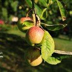 Apple tree in the garden