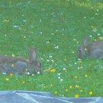 Nut Tree bunnies!
