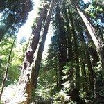 Majestic redwoods in Muir Woods