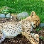 Want to meet a baby Cheetah? -->