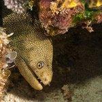 Spotted Moray at San Toribio reef