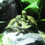 Baby red-eared sliders - precious!